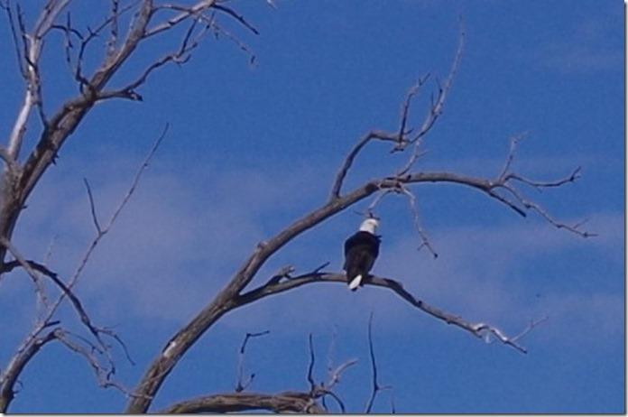 eagle (2)