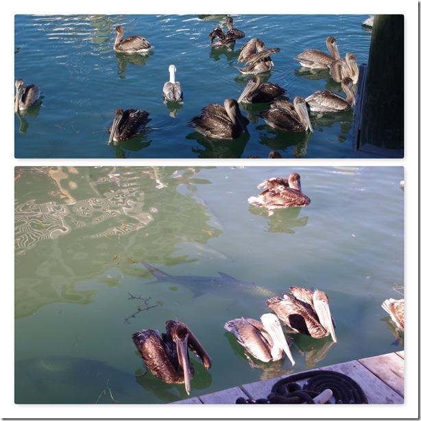 pelicanskeywest